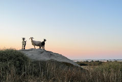 Goats at evening time Stock Images