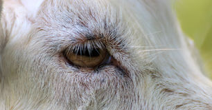 Goats Eye closeup Stock Image