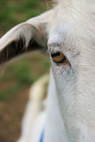 Goats face Stock Photography
