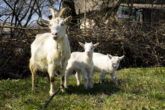 A goats familly Royalty Free Stock Photo