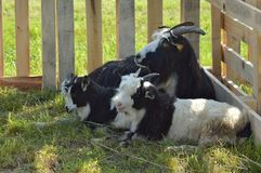 Goats familly Stock Photography