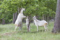 Goats family are eating. In the field Royalty Free Stock Photo
