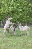 Goats family are eating Stock Photo