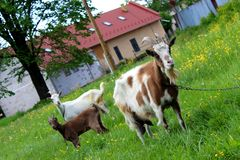 Goats and Family Royalty Free Stock Photography