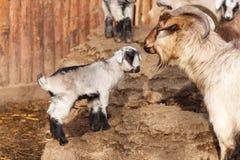 The goats Stock Photos