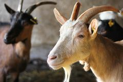 Goats on Farm. Domestic animal royalty free stock images