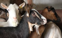 Goats on Farm. Goats on the farm in different colors royalty free stock photos