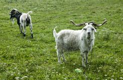 Goats on a farm Royalty Free Stock Photos
