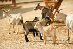 Goats in the farm Stock Images
