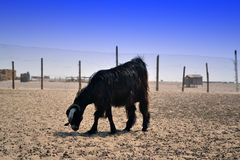 Goats on a farm Royalty Free Stock Image