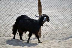 Goats on a farm Stock Photo