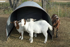 Goats on the Farm Stock Photo