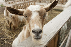 Goats on a farm Royalty Free Stock Images