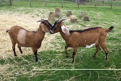 Goats in a farm Royalty Free Stock Photo