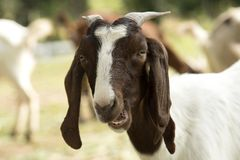 Goats in farm. Royalty Free Stock Photography
