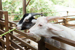 Goats in farm Royalty Free Stock Image