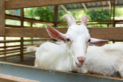 Goats in farm Royalty Free Stock Photos