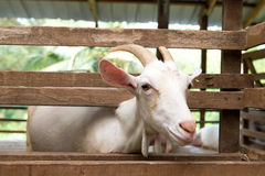 Goats in farm Stock Photography