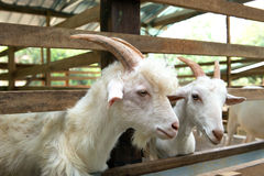 Goats in farm Stock Photo