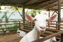 Goats in farm Stock Photos