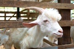 Goats in farm Royalty Free Stock Photos