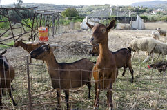 Goats in farm. At Crete Island, Greece, in summer time Royalty Free Stock Photography