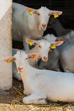 Goats farm detail Royalty Free Stock Photography