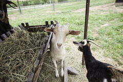 Goats on a farm Royalty Free Stock Photo
