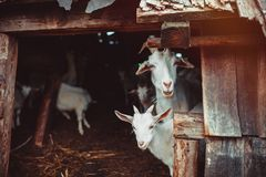 Goats in a farm Stock Image