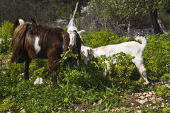 Goats on a farm grazing Stock Images