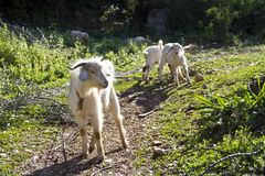 Goats on a farm grazing Stock Image