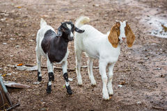 Goats in farm Stock Images