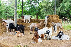 Goats in farm Royalty Free Stock Images