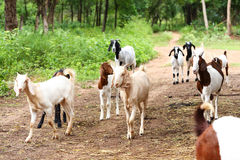 Goats in farm Stock Image