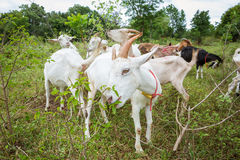 Goats in farm. Healthy goat in farm from central of Thailand Royalty Free Stock Image