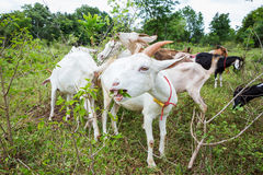 Goats in farm. Healthy goat in farm from central of Thailand Royalty Free Stock Photo