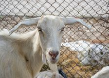 Goats in the farm, livestock family, animals in the barn, rural scene, close-up, goat with big ears. Livestock animals in the farm, funny goat with big ears royalty free stock images