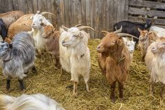 Goats at farm Royalty Free Stock Photography