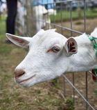 Goats on a farm in NY 4. Stock Photography