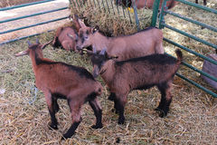 Goats farm Royalty Free Stock Images