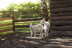 Goats on farm Royalty Free Stock Photo