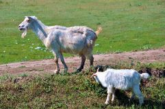 Goats in a farmyard Royalty Free Stock Images