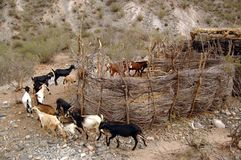 Goats in a farmyard Royalty Free Stock Photo