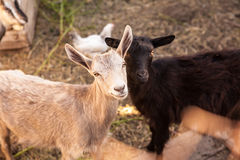 Goats in the farmyard Stock Photography