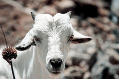 Goats, Fauna, Goat, Cow Goat Family royalty free stock photo