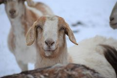Goats, Fauna, Goat, Cow Goat Family Stock Images