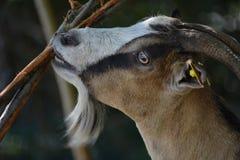 Goats, Fauna, Goat, Wildlife