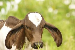 Goats, Fauna, Horn, Cow Goat Family Royalty Free Stock Images
