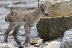 Goats, Fauna, Wildlife, Mountain Goat Royalty Free Stock Image