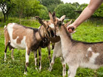 Goats are fed from hand Stock Images